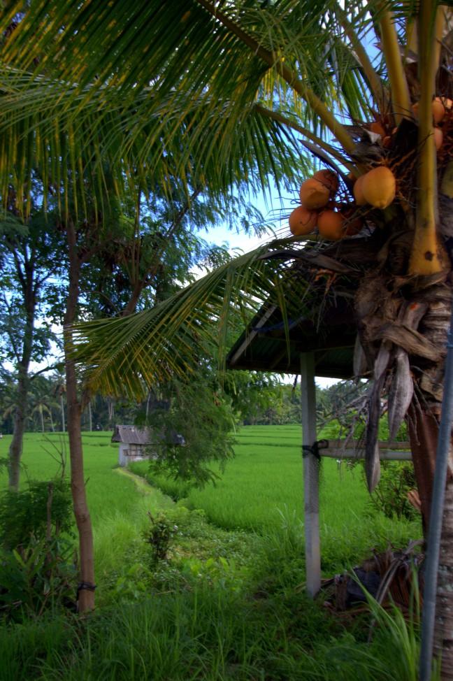 Maracujabluete-Reiseblog-Reisebericht-Bali-Ubud-Reisterrassen-Reisfelder-3