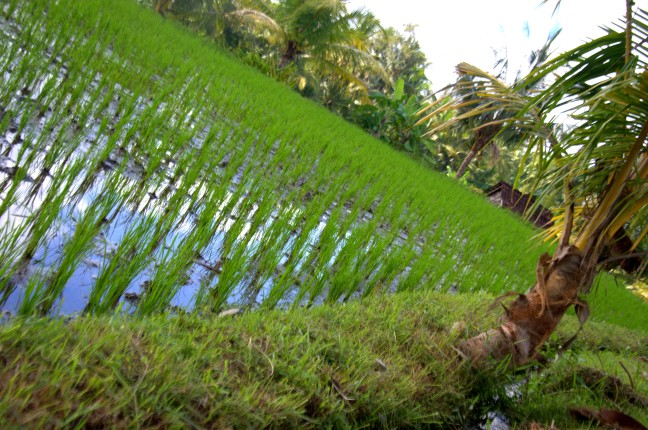 Maracujabluete-Reiseblog-Reisebericht-Bali-Ubud-Reisterrassen-Reisfelder-8