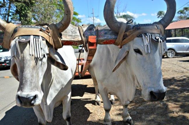 Maracujabluete-Reiseblog-Travelblogger-Reisetipps-Costa-Rica-Roadtrip-Hacienda-Guachipelin
