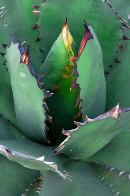 Poster Agave - © Editors Choice